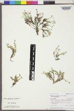 Sabulina nuttallii image
