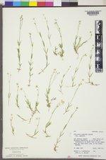Stellaria longipes image