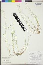 Stellaria longipes var. longipes image