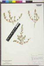 Oxybasis glauca var. salina image