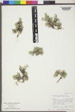 Astragalus kentrophyta var. tegetarius image