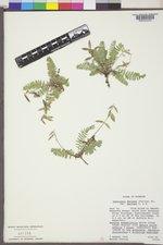 Oxytropis deflexa image