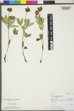 Trifolium longipes image