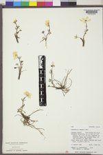 Ranunculus adoneus image