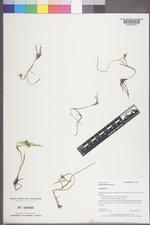 Sparganium natans image