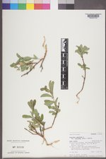 Lonicera caerulea image