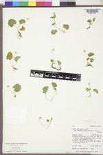 Viola palustris image