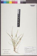 Carex oederi image