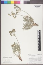 Lomatium foeniculaceum image