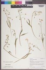 Claytonia multiscapa image