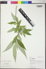 Salix lasiandra var. lasiandra image