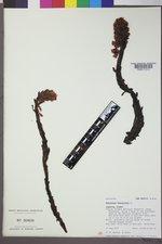 Hypopitys monotropa image