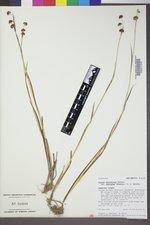 Juncus ensifolius var. montanus image