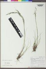 Blepharoneuron tricholepis image
