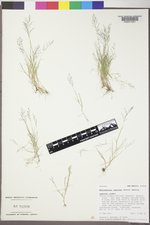 Muhlenbergia ramulosa image
