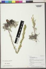 Artemisia campestris var. scouleriana image