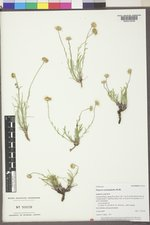 Erigeron nematophyllus image