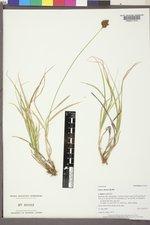 Carex ebenea image