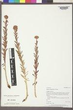 Rhodiola rhodantha image
