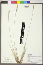 Poa fendleriana subsp. fendleriana image