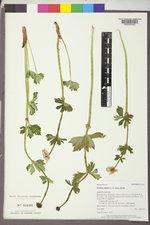 Trollius albiflorus image