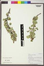 Amelanchier utahensis var. utahensis image
