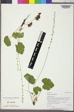 Mitella pentandra image