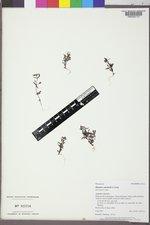 Erythranthe suksdorfii image