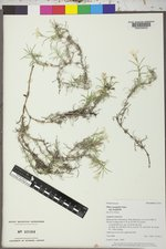 Phlox longifolia subsp. longifolia image