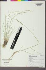 Pseudoroegneria spicata image