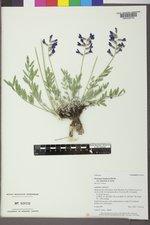 Oxytropis lambertii var. bigelovii image