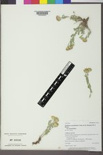Xanthisma grindelioides var. grindelioides image