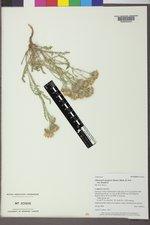 Chaenactis douglasii var. douglasii image