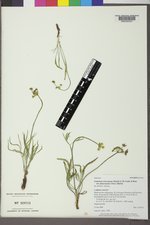 Lomatium triternatum image