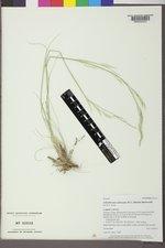 Achnatherum contractum image