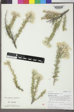 Tetradymia nuttallii image