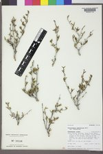 Cercocarpus ledifolius image