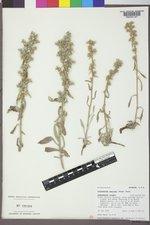 Cryptantha sericea image