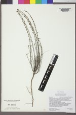 Ayenia filiformis image