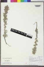 Cryptantha celosioides image