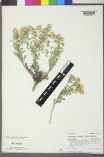 Heterotheca fulcrata image