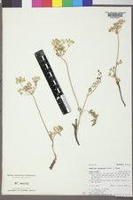 Lomatium orientale image
