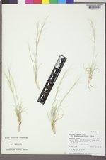 Aristida purpurea var. fendleriana image