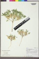 Lupinus pusillus subsp. intermontanus image