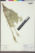 Artemisia tridentata image