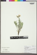 Crepis modocensis image