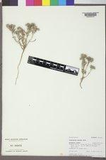 Cryptantha minima image