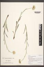 Antennaria anaphaloides image