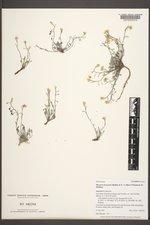 Physaria fremontii image