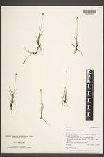 Carex microglochin image